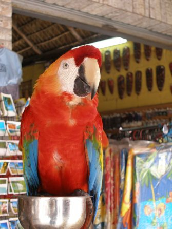 Dominican Republic: Boca Chica colourful parrot, Caribbean