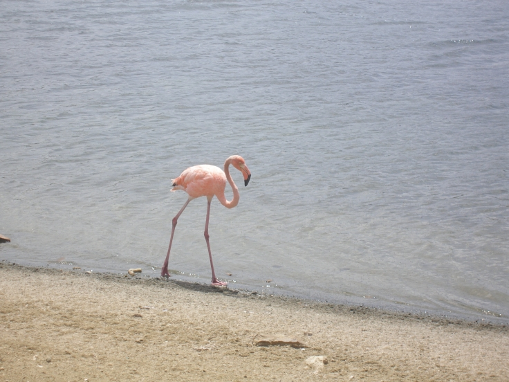 Bonaire: Pink Flamingo
