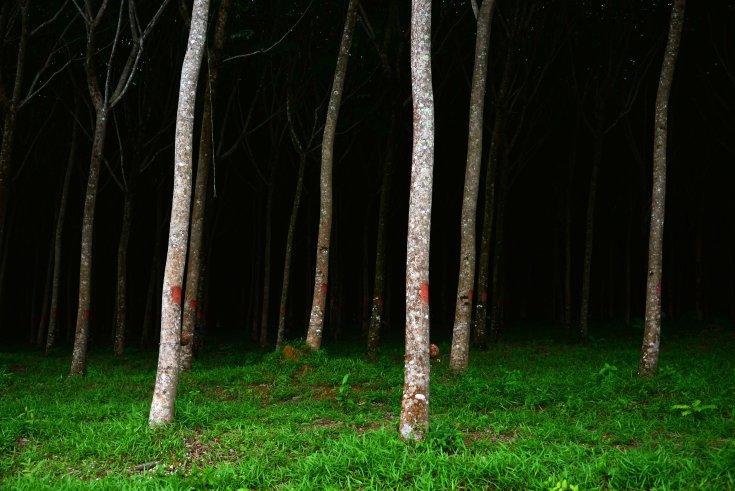 Rubber plantation Takua Pa, Thailand