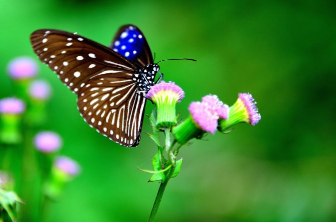 Mae Salong, Thailand, butterfly