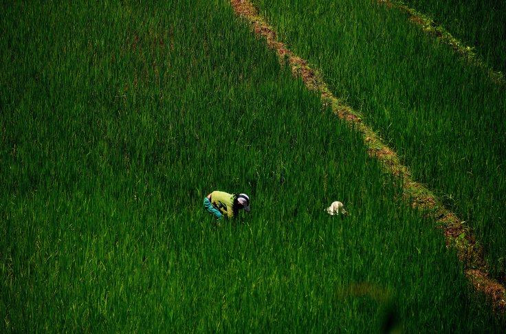 Laos: Luang Namtha's surrounding rice fields