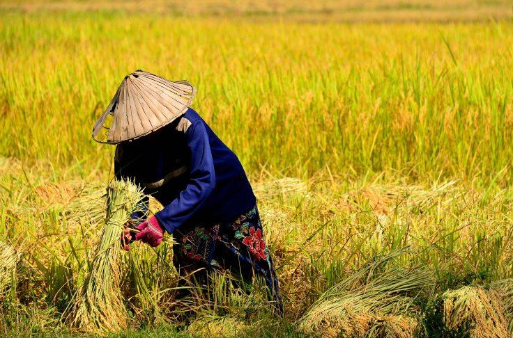 Laos, Don Khong, islands, harvest