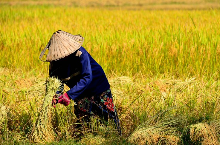 Laos, Don Khong, islands, harvest