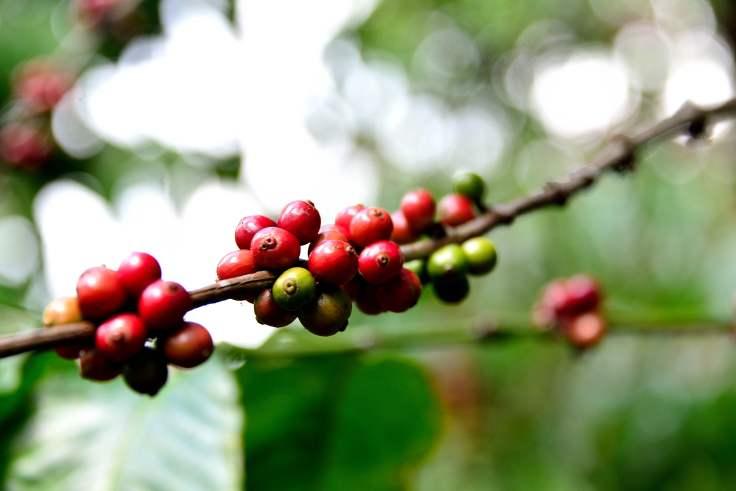 coffee, Dalat, Vietnam