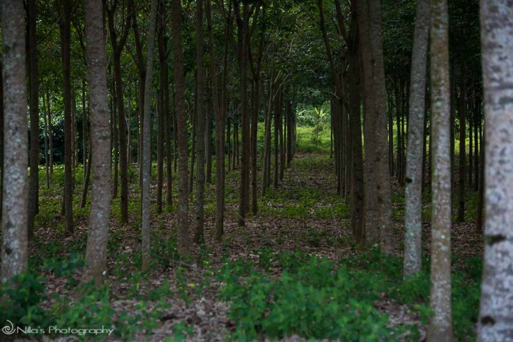 Khao Lak, Thailand, rubber plantation