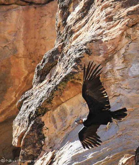 Condor, Peru, Colca Canyon, South America
