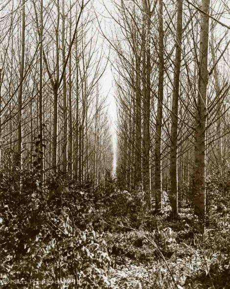 Cornwallis Poplars, Hawkesbury, NSW, Australia, sepia, 35mm B&W film