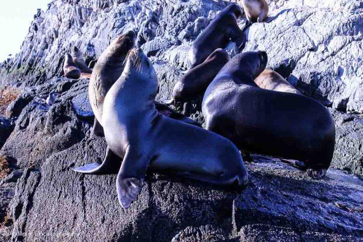 sea lions, Ushuaia, Beagle Channel, Argentina, South America