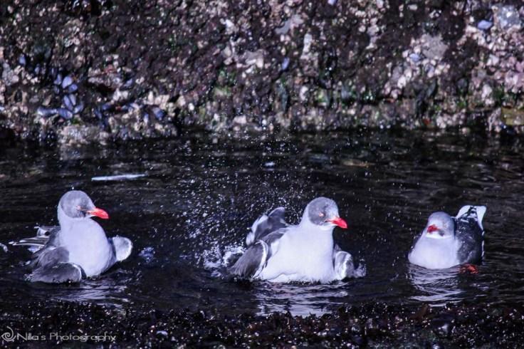 sea birds, Ushuaia, Beagle Channel, Argentina, South America