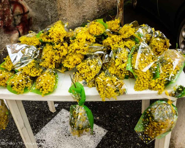 Mimosa, Women's Day, Cosenza, Calabria, Italy