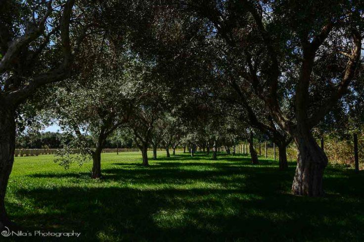 olive trees, Catania, Sicily, Italy