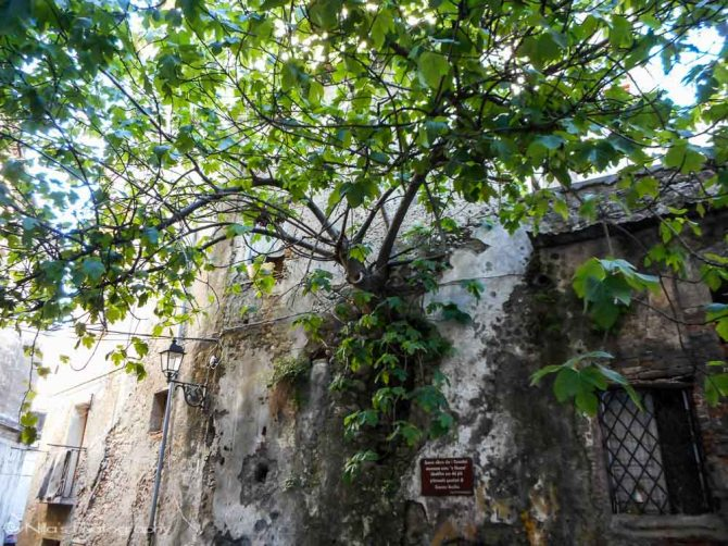 fig tree, Cosenza, Calabria, Italy