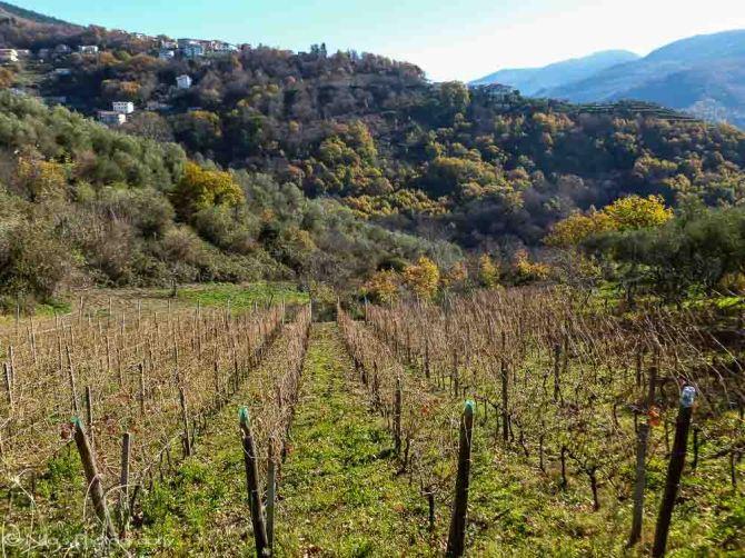 Vineyards, Rogliano, Calabria, Italy