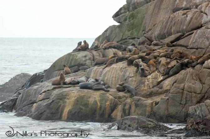 sea lions, Viña del Mar, Chile, South America