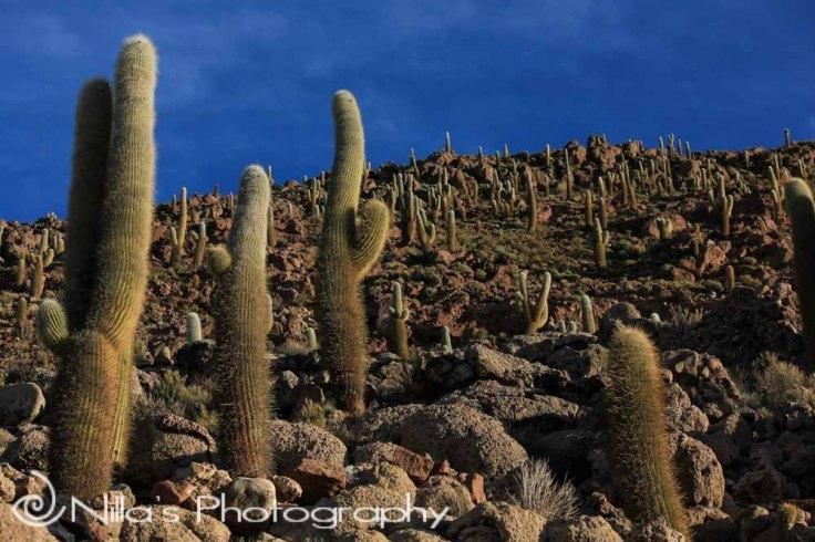 Cacti, Salar de Uyuni, Bolivia, South America