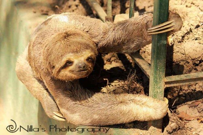 Sloth, Trinidad, Bolivia, South America