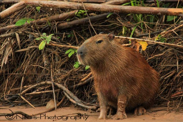 Cabybara, Madidi National Park, Amazon, Bolivia, South America