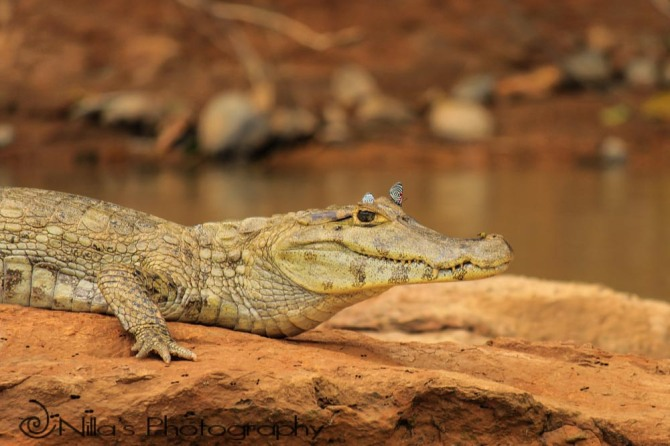 Caiman, Madidi National Park, Amazon, Bolivia, South America