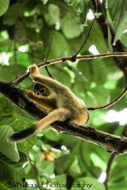 Squirrel monkey, Madidi National Park, Amazon, Bolivia, South America