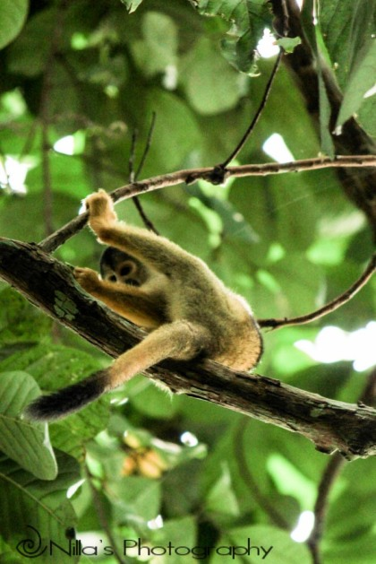 Squirrel monkey, Madidi National Park, Amazon, Bolivia, South America