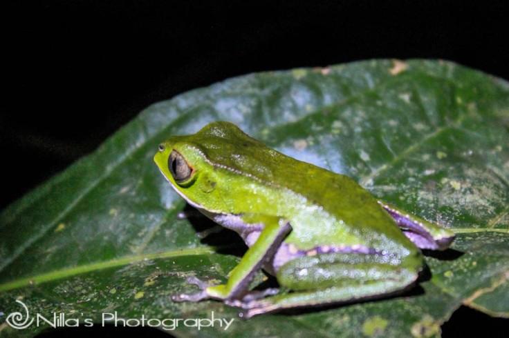 Green frog, Madidi National Park, Amazon, Bolivia, South America