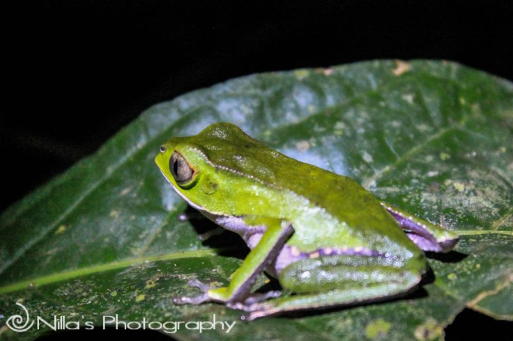 Green frog, Madidi National Park, Amazon, Bolivia, South America