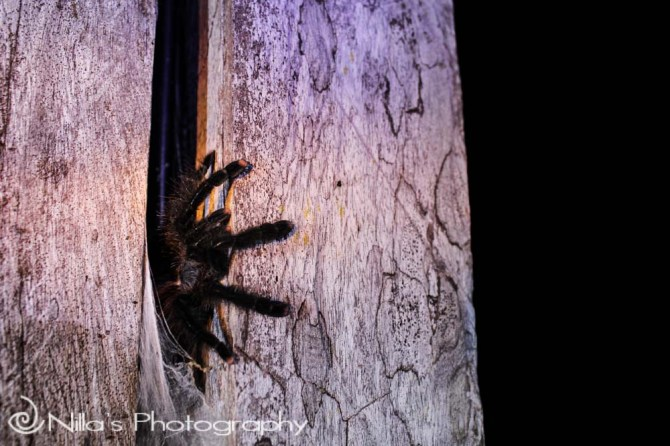Tarantula, Madidi National Park, Amazon, Bolivia, South America