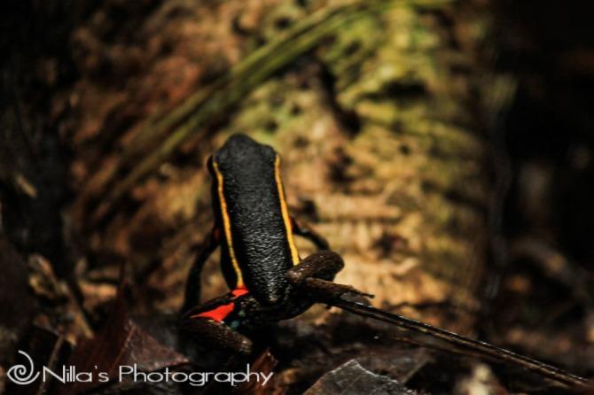 Frog, Madidi National Park, Amazon, Bolivia, South America