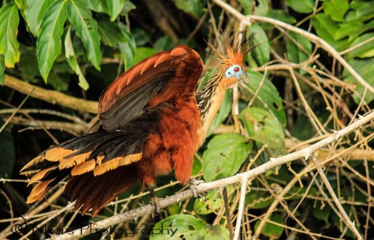 Bird, Madidi National Park, Amazon, Bolivia, South America