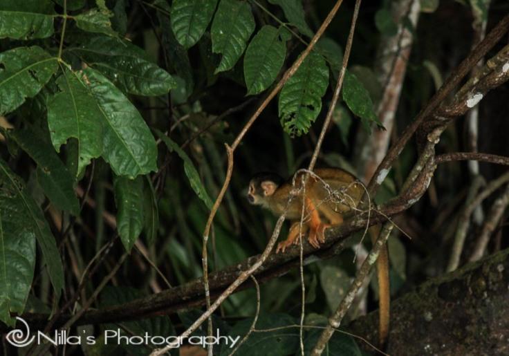 Capuchin monkey, Madidi National Park, Amazon, Bolivia, South America