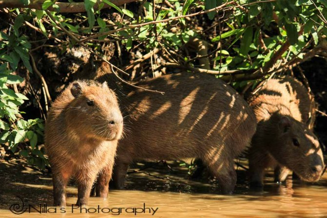 Capybara, Pampas, Rurrenabaque, Rio Yacuma, Bolivia, South America