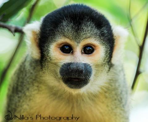Squirrel monkey, Pampas, Rurrenabaque, Rio Yacuma, Bolivia, South America