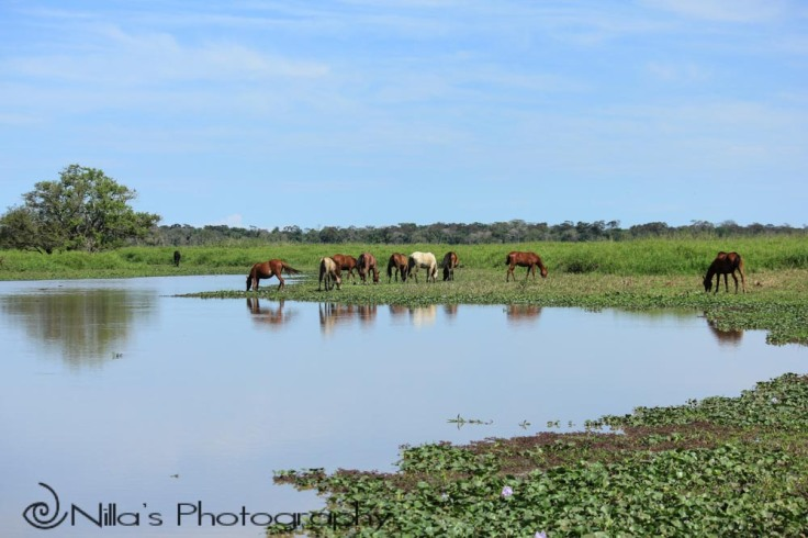 Horses, Pampas, Rurrenabaque, Rio Yacuma, Bolivia, South America