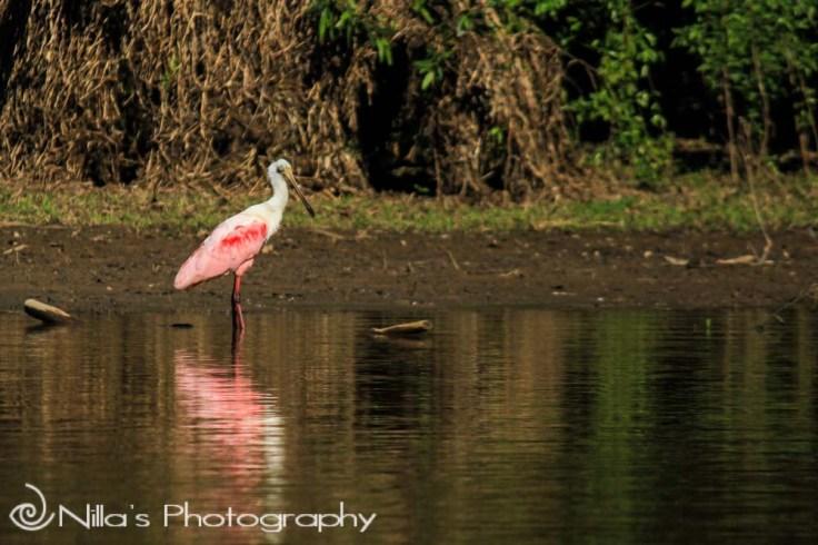 Bird, Pampas, Rurrenabaque, Rio Yacuma, Bolivia, South America