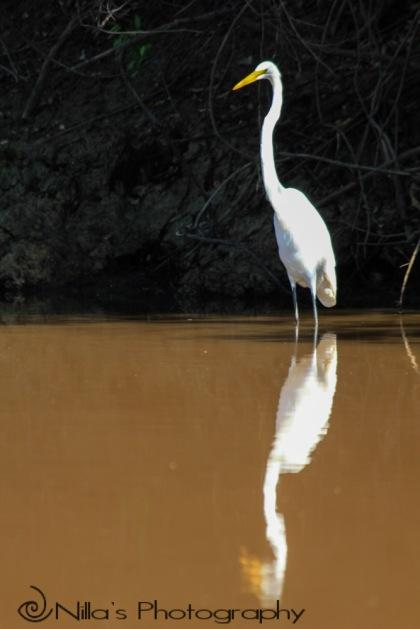 Heron, Pampas, Rurrenabaque, Rio Yacuma, Bolivia, South America