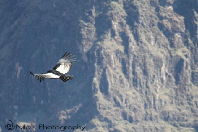 Condor, Colca Canyon, Arequipa, Peru, South America