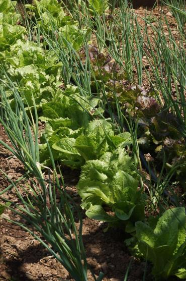 vegetables, Le Manche, Rogliano, Calabria, Italy, Europe