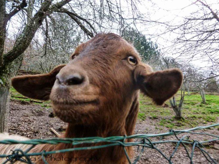 goat, Le Mance, Rogliano, Calabria, Italy, Europe