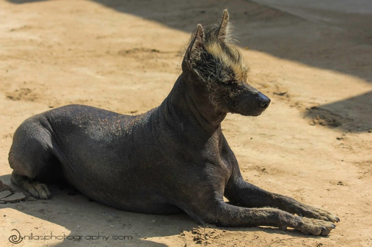 Hairless dog, Temple of the Moon, Moche, Trujillo, Peru, South America