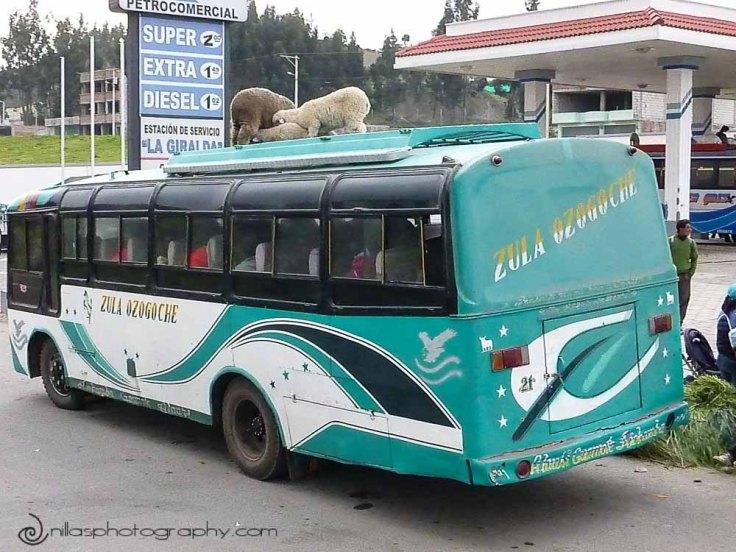 sheep, Riobamba, Baños, Ecuador, South America