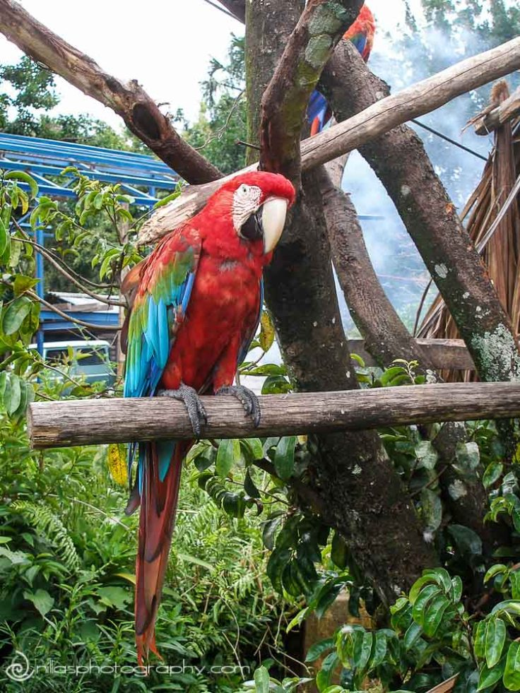 parrot, Canaima, Venezuela, South America