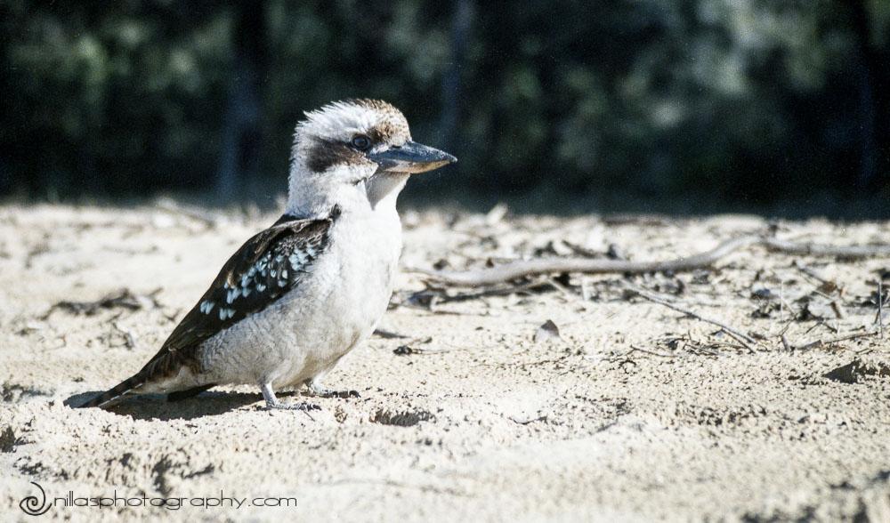 Kookaburra, Sydney, NSW, Australia, Oceania