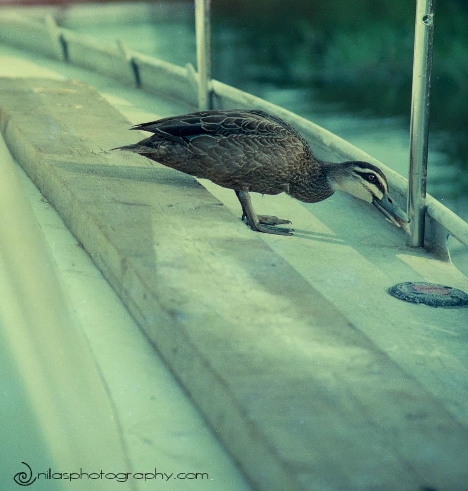 duck, Sydney, NSW, Australia, Oceania