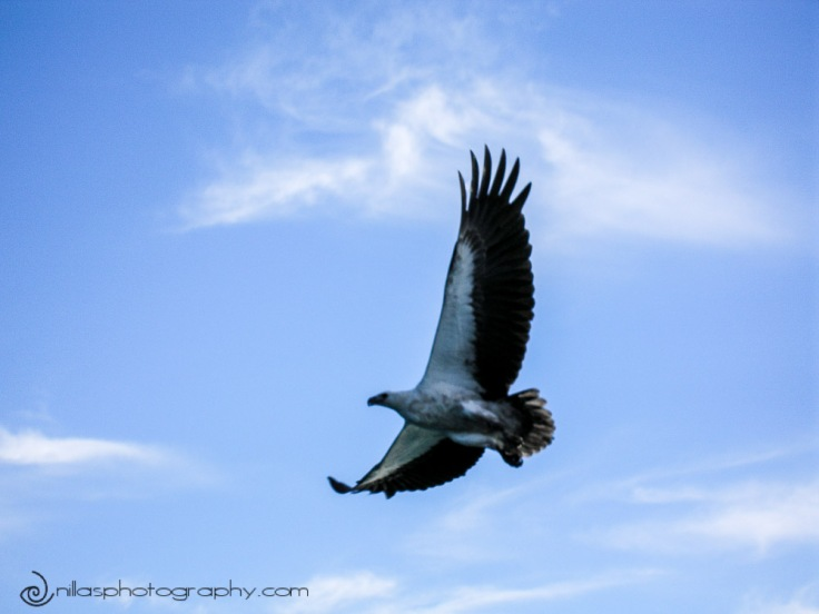 Sea Eagle, Whitsunday Islands, Queensland, Australia, Oceania
