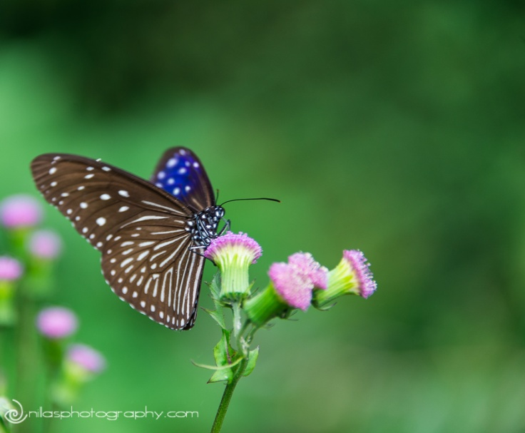 Butterfly, Mae Salong, Thailand, SE Asia