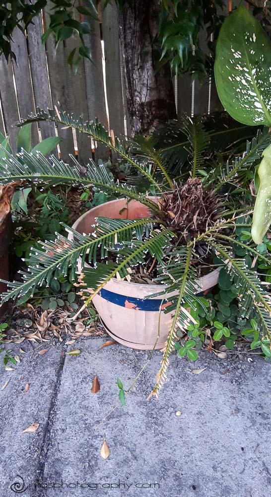 Cycads, renovating the garden, Brisbane, Queensland, Australia, Oceania