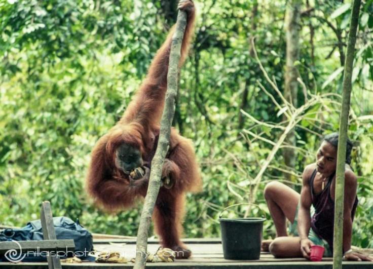 Orangutan Rehabilitation Centre, Bukit Lawang, Sumatra, Indonesia, SE Asia