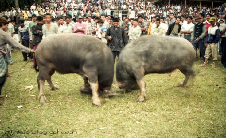 Bull fighting, Bukittinggi, Sumatra, Indonesia, SE Asia