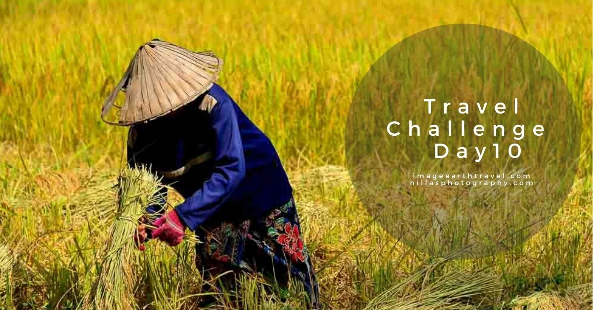 rive harvest, Don Khong Island, laos, SE Asia