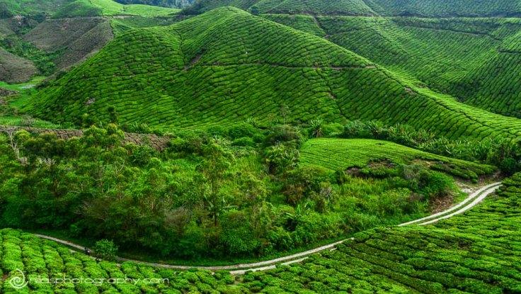 Cameron Highlands, Malaysia, SE Asia